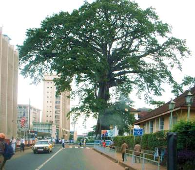 sierraleone-tree (1)